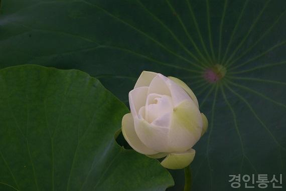 연꽃 1.jpg